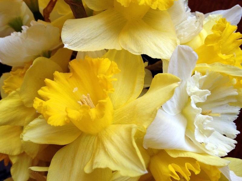 A tangle of daffodils from a gardener's backyard