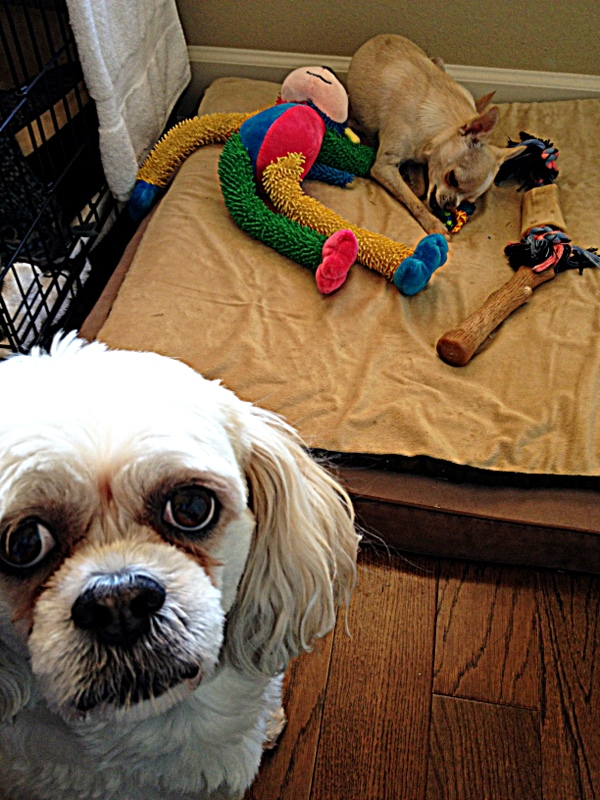 Here's the story. Macy the Lhasa loves new toys. Except this long-legged monkey, for some reason. That is, until Bruiser the Chihuahua decided it was terribly fun. Now Macy is reconsidering.