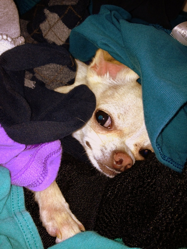 Chihuahuas with a thing for warm laundry, fresh out of the dryer.